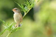 Bird is sitting on green summer grass. Bird Common Tailorbird Orthotomus sutorius royalty free stock image