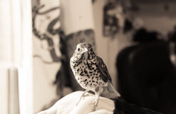Bird Sitting On A Human Hand Royalty Free Stock Photo