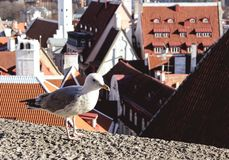 A bird sitting on Kohtuotsa viewing platform early in the morning in Tallinn, Estonia stock photos