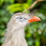 Bird sitting on Konik horse Stock Photography