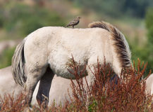 Bird sitting on Konik horse Royalty Free Stock Photography