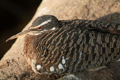 Bird sitting with long pecker and detailed feathers. Bird watching out, sitting on a rock. shot taken 2017 in a zoo Royalty Free Stock Images