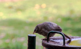 Bird sitting near water. To cool off in the hot summer. The fat bird is  from the background Stock Image