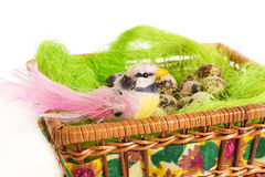 Bird sitting in a nest basket with quail eggs Stock Photo