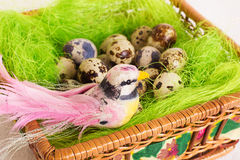 Bird sitting in a nest of basket with quail eggs Royalty Free Stock Image