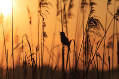Bird sitting in the reeds singing song. Spring birdsong,Great reed warbler Royalty Free Stock Image