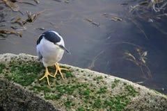 Bird sitting on rock near water. Bird with yellow legs sitting on rock near water with plants Royalty Free Stock Photos