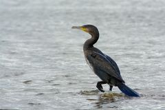 Common cormorant  sitting on a rockin in the ocean, Sweden. Bird sitting on a rock on the west coast Royalty Free Stock Photography