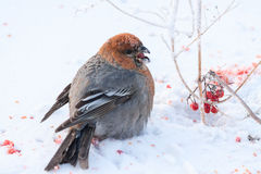 Bird sitting on the snow Royalty Free Stock Image