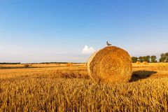 Bird sitting on a straw bale, summer landscape Royalty Free Stock Photography