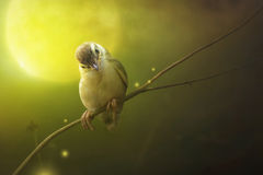 Bird is sitting on the tree branch in the moon light. Bird Common Tailorbird Orthotomus sutorius royalty free stock photo