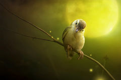 Bird is sitting on the tree branch in the moon light. Bird Common Tailorbird Orthotomus sutorius stock images
