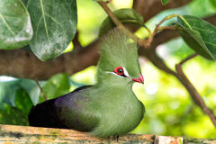 Bird sitting on wooden perch. Bird, small animal, with red beak, greeny tuft and feathers sitting on wooden perch in forest with green leaves trees on sunny Royalty Free Stock Photo