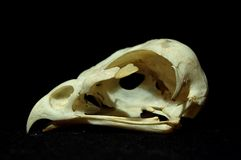 Bird skull. Skull of a buzzard, bird of prey Royalty Free Stock Photo