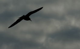 Bird in Sky. Silhouette taken at a local park at dusk Stock Photography