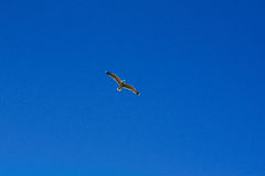 The bird in the sky. The white bird in the blue sky Royalty Free Stock Photos