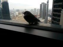 Bird sleeping 32 floors up. Stock Photography