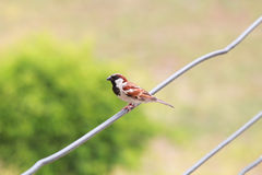 Bird. A small bird perched on a wire Royalty Free Stock Photography