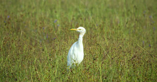 Bird small white heron. Feathery Stock Images
