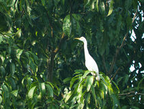 Bird a small white heron sits. On a tree Stock Image