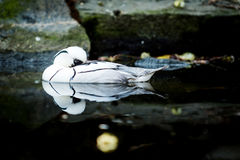 Bird the smew. Male of white duck names the smew & x28;Mergellus albellus& x29; in water Royalty Free Stock Images