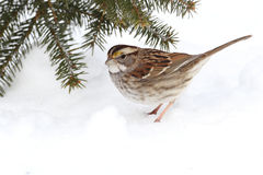 Bird In Snow Royalty Free Stock Photos