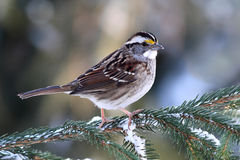 Bird In Snow. White-throated Sparrow (zonotrichia albicollis) perched on a snow covered tree limb Royalty Free Stock Photography