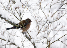Bird in the snow. Bird placed on the branch with snow Royalty Free Stock Images