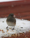 Bird with snow on beek. Bird eating food on a cold winter day Royalty Free Stock Photos