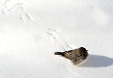 Bird on snow Royalty Free Stock Image