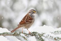 Bird In Snow Royalty Free Stock Photo