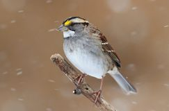 Bird In Snow Royalty Free Stock Image