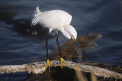 Bird-Snowy egret. Snowy egret showing his golden slippers. Photographed in Florida's Everglades Stock Photography