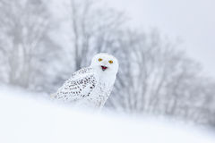 Bird snowy owl sitting on the snow in the habitat, winter scene with snowflakes in wind. Royalty Free Stock Photos