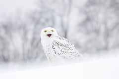 Bird snowy owl sitting on the snow, winter scene with snowflakes in wind. Royalty Free Stock Images