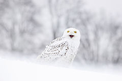 Bird snowy owl sitting on the snow, winter scene with snowflakes in wind. Stock Photos