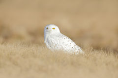 Bird snowy owl with yellow eyes sitting in grass, scene with clear foreground and background, in the nature habitat, Canada. North America Stock Image