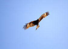 The Bird soaring in heavens Royalty Free Stock Image