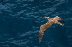 Bird soaring over the ocean Stock Images