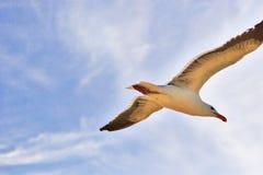 Bird Soars Blue Sky. Beautiful gull soars in a light blue sky Stock Photography