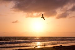 Bird Soars during Golden Sunset over Ocean Royalty Free Stock Photo