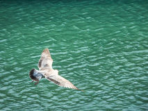 Bird Soars over Green Waters of Galway, Ireland Stock Image