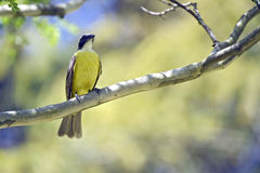Bird social flycatcher on branch in the forest Stock Photo