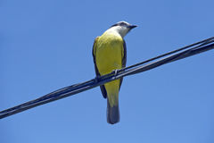 Bird social flycatcher on electricity wire Royalty Free Stock Photography