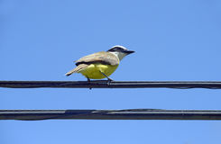 Bird social flycatcher on electricity wire Stock Photo