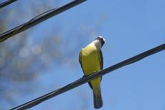 Bird social flycatcher on electricity wire Royalty Free Stock Photo
