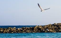 Bird in solitary flight, Baby Beach, Aruba. Flying bird over the sea Royalty Free Stock Photography