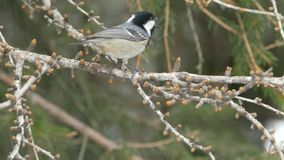 Bird songs: Coal tit (Periparus ater) singing on a larch twig. stock video footage