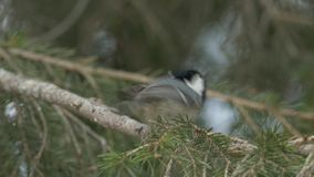 Bird songs: Coal tit (Periparus ater) singing and leaping away. stock video