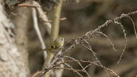 Bird songs: goldcrest (Regulus regulus) singing and flying away. stock footage